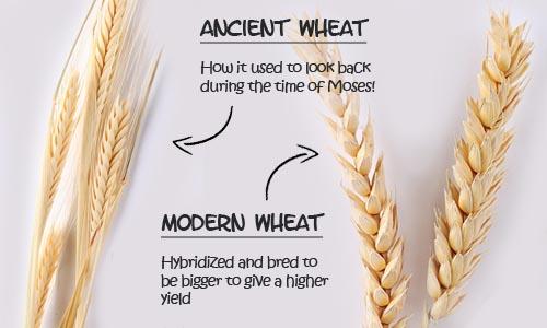 ancient modern wheat