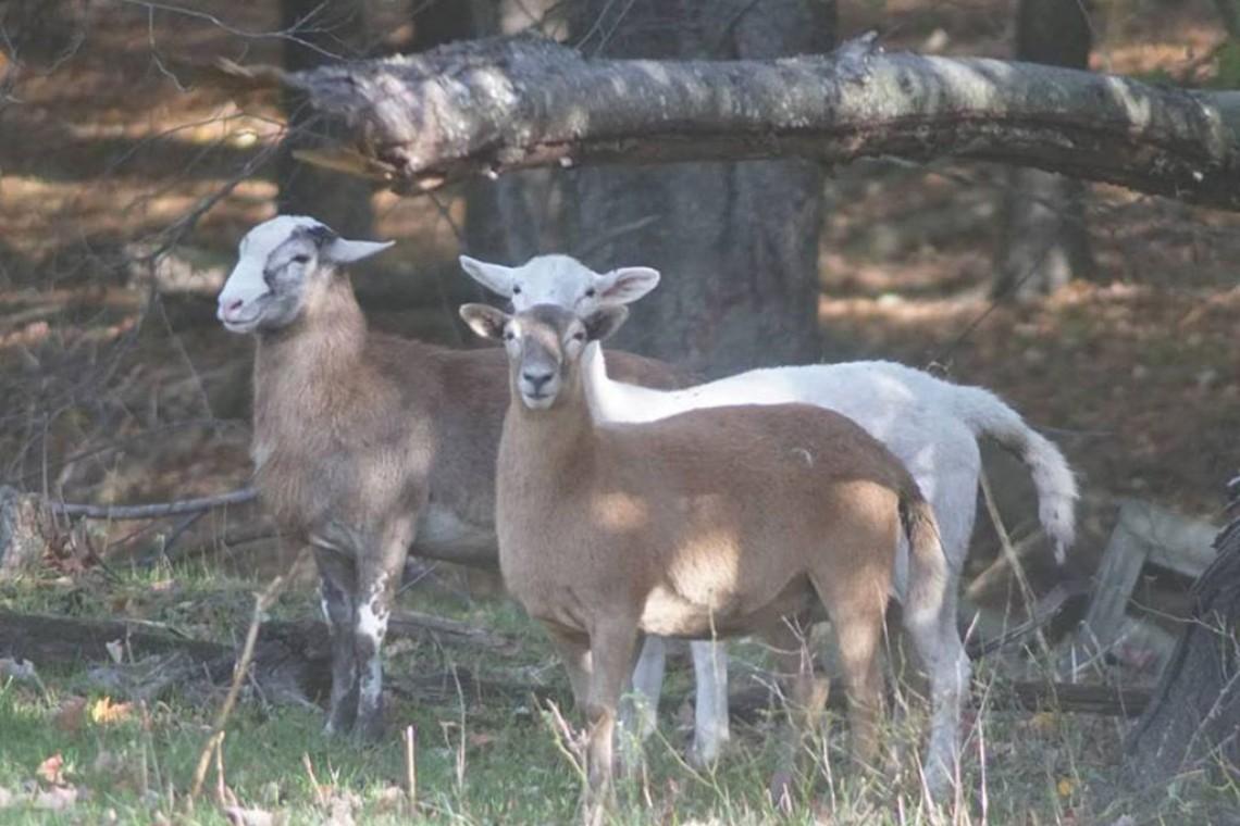 creswick goats