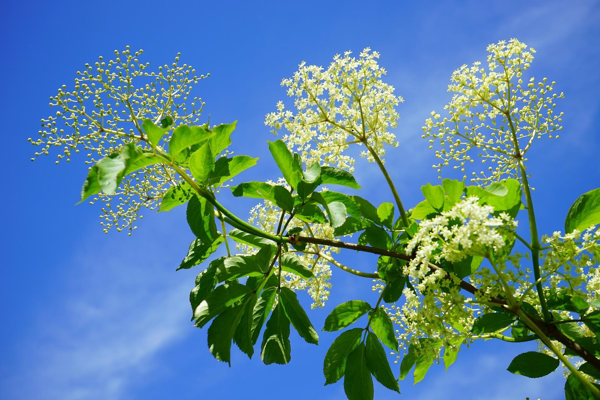 black-elderberry-474752_1920